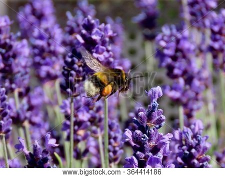 Wild Bumble Bee Flying Over Purple Lavender Flowers, Carrying Big Orange Piece Of Pollen. Close Up,