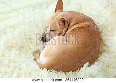 Small Cute Tired Chihuahua Dog Resting On Bed On A Sunny Day On Blanket. Care For Pet. Portrait Of D