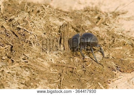 Flightless Dung Beetle Burrowing Into Some Fresh African Elephant Dung On A Hot Summers Day