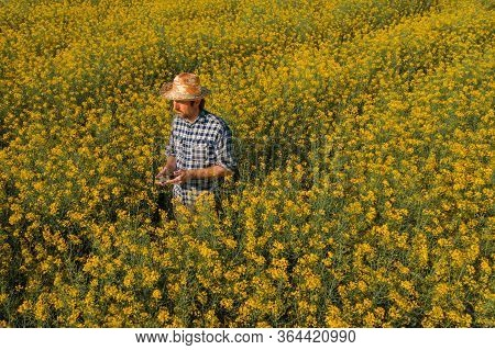 Agronomist With Drone Remote Controller In Blooming Rapeseed Field, Aerial View Of Farm Worker On Oi