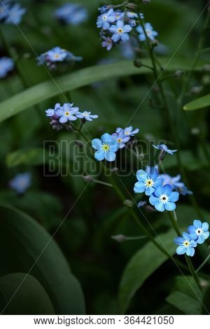 Broadleaf Forget-me-not Flowers, Scorpion Grasses, Remember-me, Myosotis Latifolia. Springtime Flowe