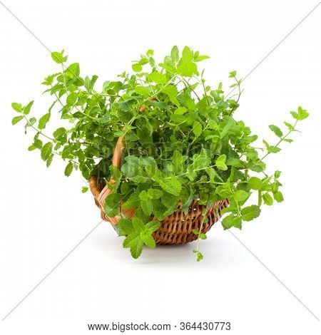Wicker basket with fresh mint isolated over white background