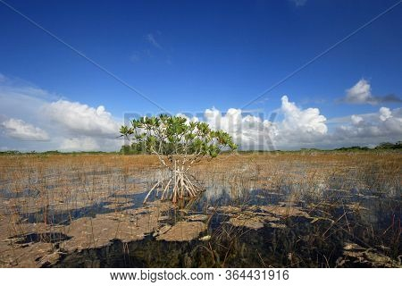 Red Mangroves, Reeds And Periphyton Of Nine Mile Pond In Everglades National Park On Sunny October A