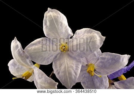 Blue Starlight Flower In A Delicate Pastel Blue And White With A Yellow Center, Isolated On A Black