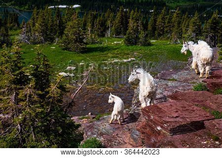 2415_two Adult Goats And One Baby Stand Watch On A Cliff Along The Hidden Lake Trail At Glacier Nati