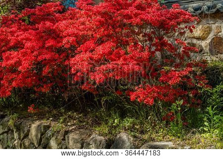Closeup Of Beautiful Red Flowers Growing On Ledge In Front Of Stone Wall.