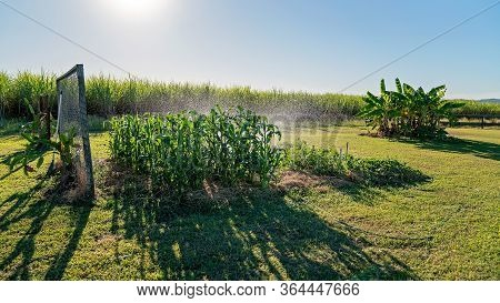 A Healthy Crop Of Corn In A Rural Backyard Garden Being Watered With A Sprinkler In Late Afternoon S