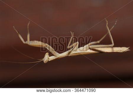 European Mantis Mantis Religiosa Over A Silk Filament.