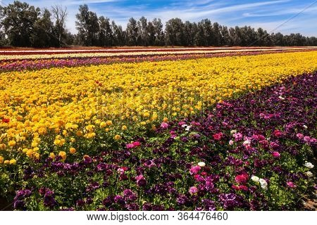 Gorgeous multicolor striped floral carpet.Kibbutz field of flowering colorful buttercups. Spring walk in southern Israel. Beautiful sunny spring day. Ecological, botanical and photo tourism concept