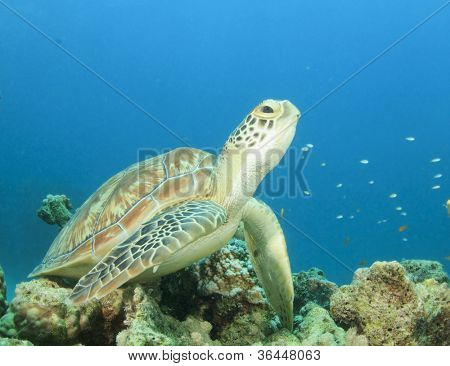 Juvenile Green Sea Turtle on coral reef