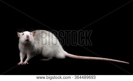 Gray Rat Isolated On Dark Black Background. Rodent Pet. Domesticated Rat Close Up. The Rat Is Lookin
