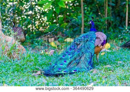 Beautiful, Bright Peacock, With A Chic Tail Of Feathers. A Peacock Walks In The Garden, With A Large