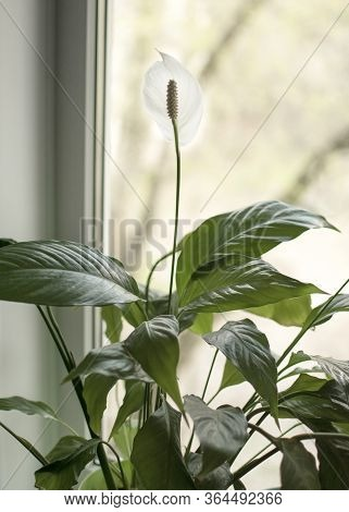 Spathiphyllum. Indoor Home Plant With White Flowers. A Flower In A Pot Stands At The Window.