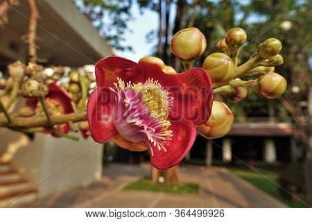 Incredibly Beautiful Flower Of Couroupita Guianensis Tree. Large Bright Pink Petals And Yellow Stame
