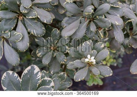 Flower In Branches Of Flowering Evergreen Shrub Pittosporum Tobira Variegata. Beautiful Floral Sprin