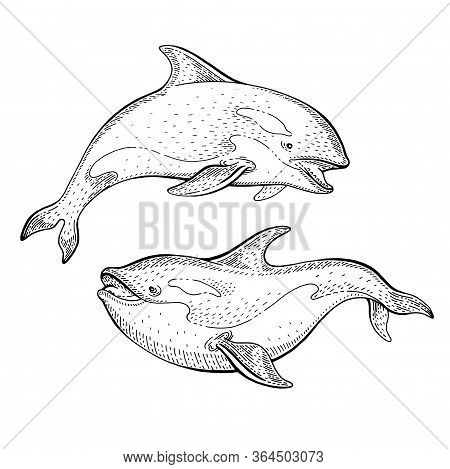 Orca Killer Whale Sketch, Vintage Vector Illustration. Sea Animal Hand Drawn Line Art. Circus Whales