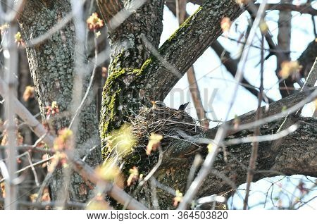 A Bird Hatches Eggs In A Nest. The Fieldfare (turdus Pilaris) Is A Member Of The Thrush Family Turdi