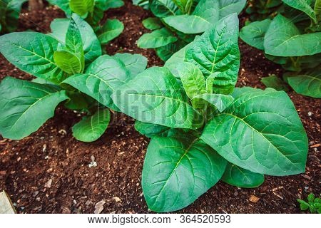 Blooming Tobacco Plants With Leaves. Green Leaf Tobacco. Tobacco Big Leaf Crops Growing In Tobacco P
