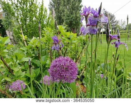 Flowerbed In Moravia With Allium (ornamental Garlic) And Iris (sword Flag). Flowerbed Tuned To Purpl