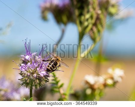 Honey Bee Collecting Pollen And Honey From Lacy Phacelia (phacelia Tanacetifolia) Blue Flowers
