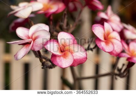 Pink Plumeria Flower And Frangipani Tropical Flower, Plumeria Flower Blooming On Tree, Spa Flower