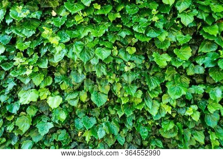 Detailed Green Background With Climbing Ivy. Ivy Carpet.