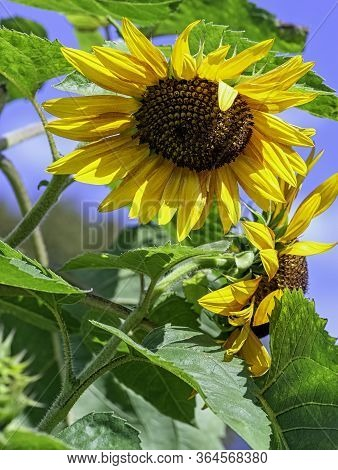 Helianthus Annuus Known As The Common Sunflower