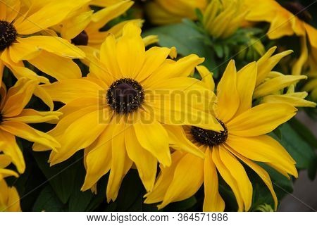 Yellow Black-eyed Susans, Rudbeckia Hirta, Flowering In A Summer Garden. Potted Plant