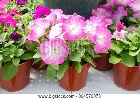 Petunia ,petunias In The Tray,petunia In The Pot, Mixed Color Petunia, Pink Shade