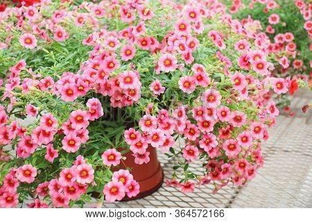 Petunia ,petunias In The Tray,petunia In The Pot, Mixed Color Petunia, Pink And Red Shade