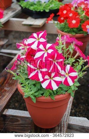 Petunia ,petunias In The Tray,petunia In The Pot, Rose Star Petunia