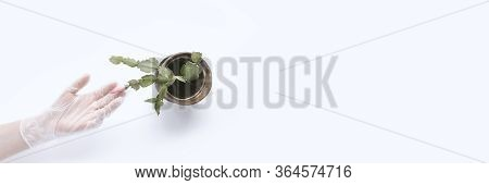 Hand Wearing White Protective Medical Glove Hold Home Flower In Old Pot On White Background. Banner