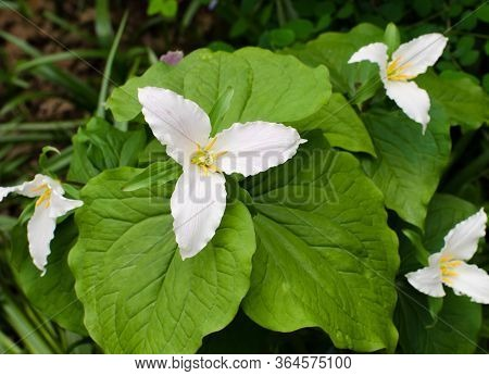 Close-up Of The Western Trillium Is A Native Wildflower Growing In The Pacific Region Of North Ameri