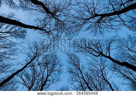 Leafless Tree Tops Ending With Naked Branches View From Bottom Looking Up Upward At Dark Scene Blue