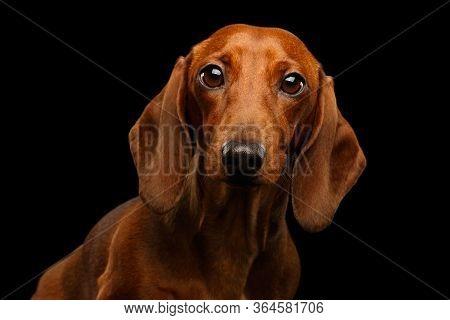 Red Dachshund Dog On Isolated Black Background