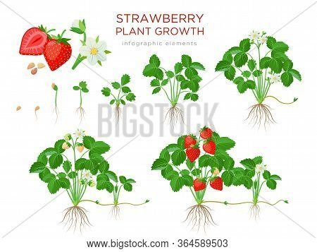 Strawberry Plant Growing Stages From Seeds, Seedling, Flowering, Fruiting To A Mature Plant With Rip