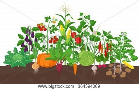 Garden With Vegetable Plants Growing In The Garden - Vector Flat Illustration, Group Of Vegetable Pl