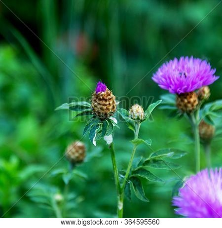Cornflower, Centaurea Cyanus, Asteraceae. Cornflower Grass Or Bachelor Flower In The Garden. Natural