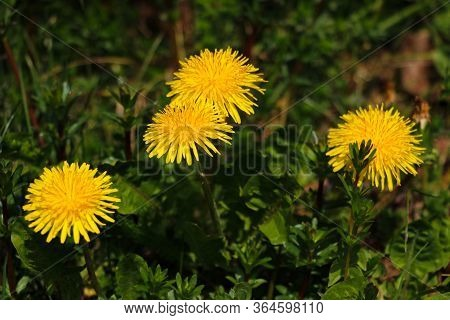 Macro Photo Of A Dandelion Plant. Dandelion Plant With A Fluffy Yellow Bud. Selective Focus