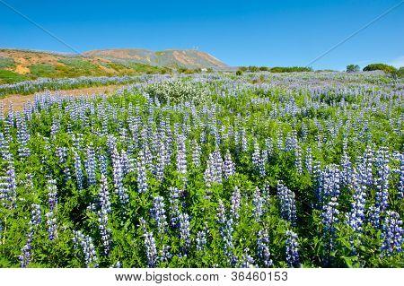 Meadows full of blooming Nootka lupin (Lupinus nootkatensis) in the mountains near Husavik, Iceland. poster