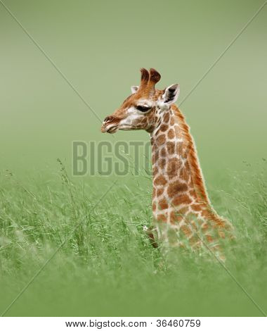 Young giraffe lying in green grass - Kruger National Park