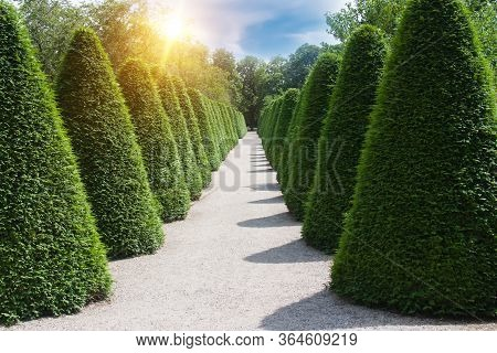 Alley In The Park With Beautiful Topiary Evergreen Bushes. Green Hedge Of Coniferous Bushes.