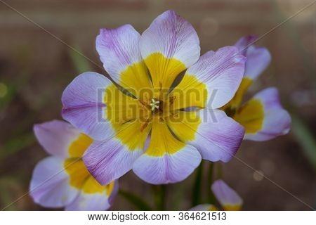Tulipa Saxatilis With Lilac And Yellow Colour,  Beautiful Wild Tulip Flower