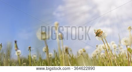 Panoramic View To Spring Background Art With White Fluffy Dandelions And Fluttering Butterfly. Sprin
