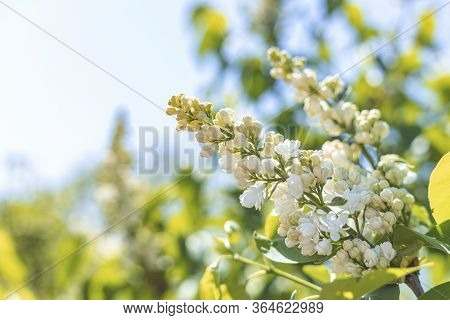 White Lilac Blossom Branch Spring. Spring Blooming White Lilac Flowers. White Lilac Flowers In Bloom