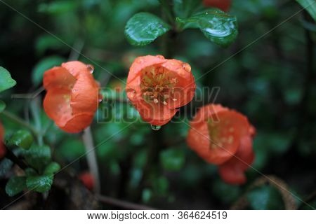 Early Spring Blooms Texas Scarlet Flowering Quince (japanese Chaenomeles) Orange Or Red Flowers With