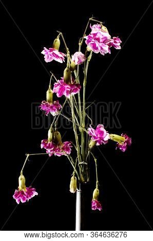 Wilted Clove Pink Flowers On The Dark Background