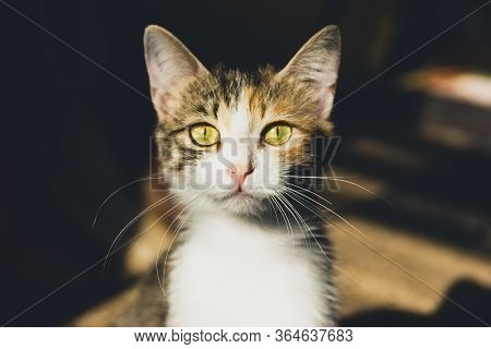 Cute Little Domestic Cat With Golden Eyes And Long Whiskers Looks At Camera With A Sweet Expression.