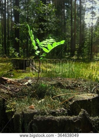A Young, Thin, Gentle, Innocent Defenseless Tree Shoot Reaches For The Sunlight. The Origin Of Life