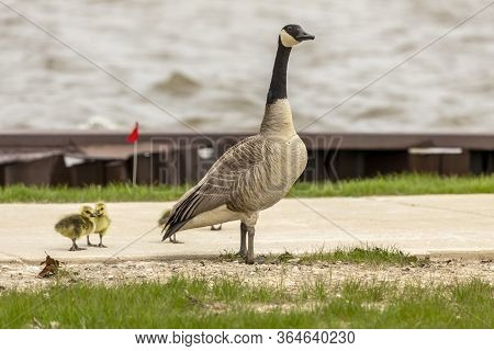 Canada Goose With Gosling On The Shore In The Harbor. Wild Geese Sometimes Nest Near Human Agglomera